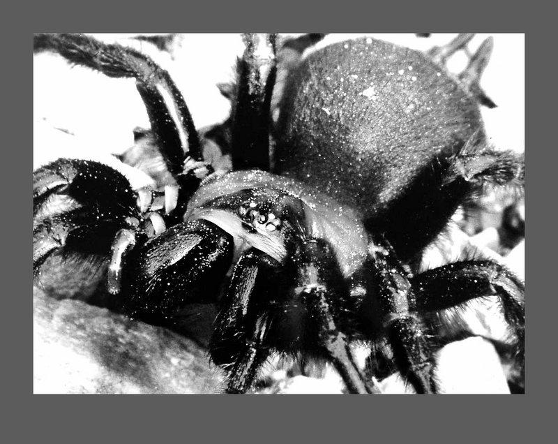 Black Tunnelweb Spider - 800x636, 99kB