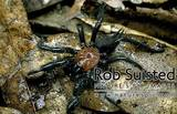 Black Tunnelweb Spider - (500x322, 55kB)