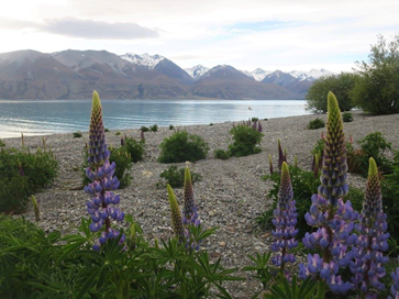 Honorable Mention # 2: Lake Pukaki & Tasman Downs - Not an Alfrid in sight